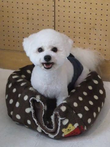 ビションフリーゼトリミングフントヒュッテビションカットスタイルモデル犬画像ビションフリーゼトリミングサロン東京ビションhundehutteビションベアカット_139.jpg