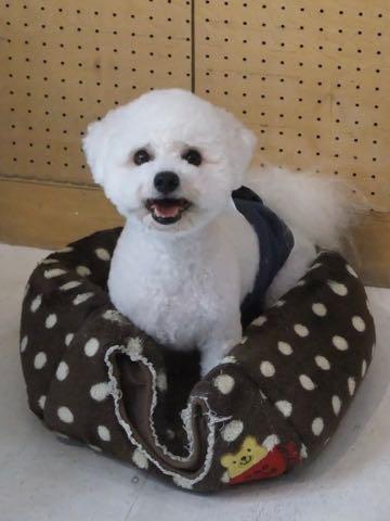 ビションフリーゼトリミングフントヒュッテビションカットスタイルモデル犬画像ビションフリーゼトリミングサロン東京ビションhundehutteビションベアカット_140.jpg