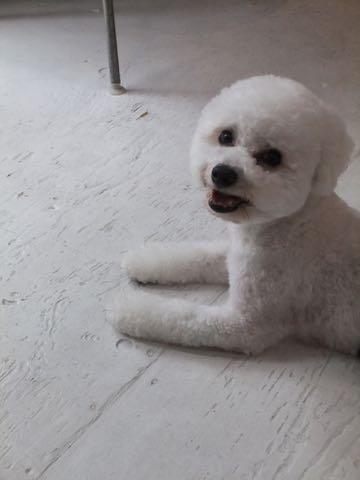 ビションフリーゼトリミングフントヒュッテビションカットスタイルモデル犬画像ビションフリーゼトリミングサロン東京ビションhundehutteビションベアカット_141.jpg
