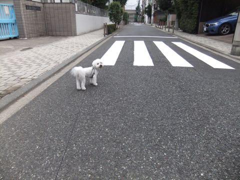 ビションフリーゼトリミングフントヒュッテビションカットスタイルモデル犬画像ビションフリーゼトリミングサロン東京ビションhundehutteビションベアカット_142.jpg