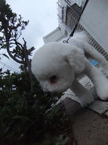 ビションフリーゼトリミングフントヒュッテビションカットスタイルモデル犬画像ビションフリーゼトリミングサロン東京ビションhundehutteビションベアカット_143.jpg