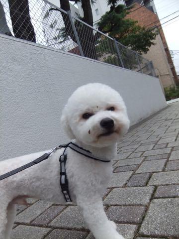 ビションフリーゼトリミングフントヒュッテビションカットスタイルモデル犬画像ビションフリーゼトリミングサロン東京ビションhundehutteビションベアカット_144.jpg