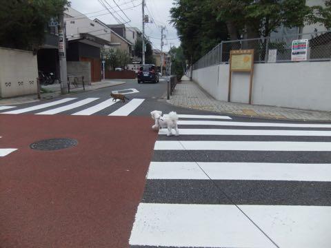 ビションフリーゼトリミングフントヒュッテビションカットスタイルモデル犬画像ビションフリーゼトリミングサロン東京ビションhundehutteビションベアカット_145.jpg