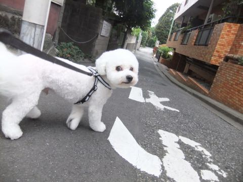 ビションフリーゼトリミングフントヒュッテビションカットスタイルモデル犬画像ビションフリーゼトリミングサロン東京ビションhundehutteビションベアカット_146.jpg