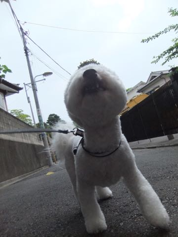 ビションフリーゼトリミングフントヒュッテビションカットスタイルモデル犬画像ビションフリーゼトリミングサロン東京ビションhundehutteビションベアカット_147.jpg