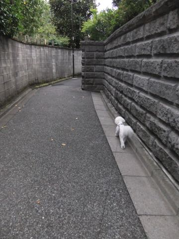 ビションフリーゼトリミングフントヒュッテビションカットスタイルモデル犬画像ビションフリーゼトリミングサロン東京ビションhundehutteビションベアカット_148.jpg