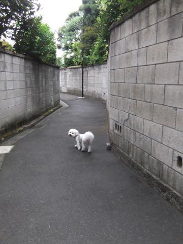ビションフリーゼトリミングフントヒュッテビションカットスタイルモデル犬画像ビションフリーゼトリミングサロン東京ビションhundehutteビションベアカット_149.jpg
