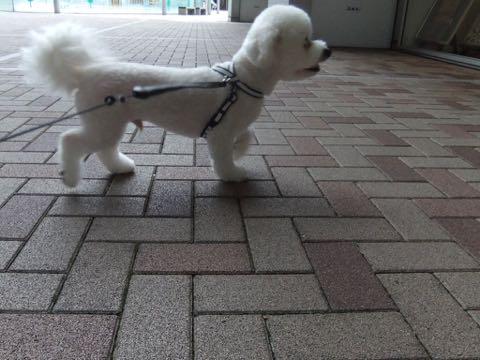 ビションフリーゼトリミングフントヒュッテビションカットスタイルモデル犬画像ビションフリーゼトリミングサロン東京ビションhundehutteビションベアカット_150.jpg