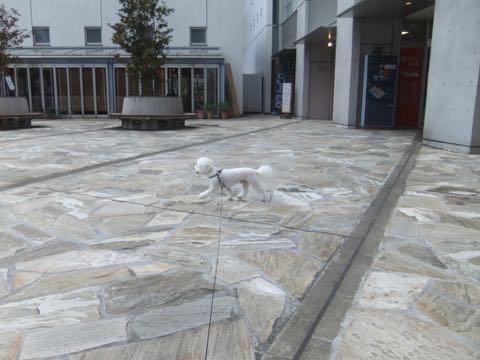 ビションフリーゼトリミングフントヒュッテビションカットスタイルモデル犬画像ビションフリーゼトリミングサロン東京ビションhundehutteビションベアカット_151.jpg