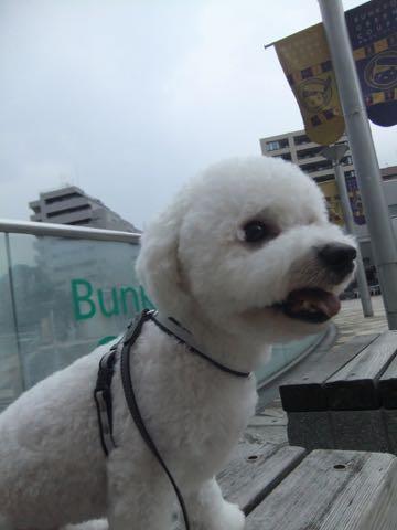 ビションフリーゼトリミングフントヒュッテビションカットスタイルモデル犬画像ビションフリーゼトリミングサロン東京ビションhundehutteビションベアカット_152.jpg