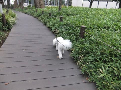ビションフリーゼトリミングフントヒュッテビションカットスタイルモデル犬画像ビションフリーゼトリミングサロン東京ビションhundehutteビションベアカット_154.jpg