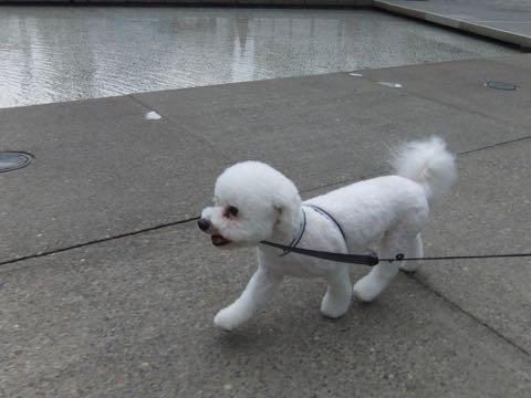ビションフリーゼトリミングフントヒュッテビションカットスタイルモデル犬画像ビションフリーゼトリミングサロン東京ビションhundehutteビションベアカット_155.jpg