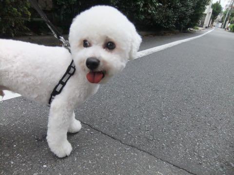 ビションフリーゼトリミングフントヒュッテビションカットスタイルモデル犬画像ビションフリーゼトリミングサロン東京ビションhundehutteビションベアカット_157.jpg