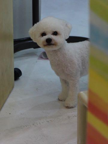 ビションフリーゼトリミングフントヒュッテビションカットスタイルモデル犬画像ビションフリーゼトリミングサロン東京ビションhundehutteビションベアカット_159.jpg