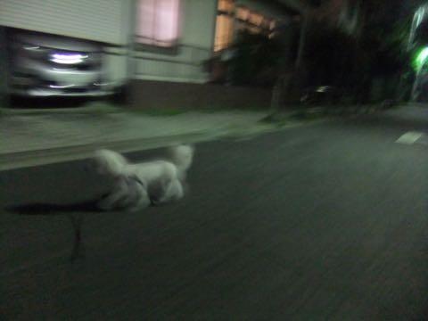 ビションフリーゼトリミングフントヒュッテビションカットスタイルモデル犬画像ビションフリーゼトリミングサロン東京ビションhundehutteビションベアカット_160.jpg