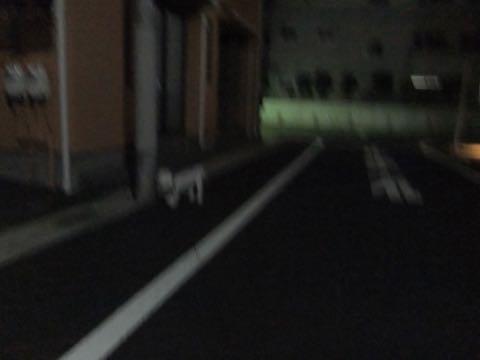 ビションフリーゼトリミングフントヒュッテビションカットスタイルモデル犬画像ビションフリーゼトリミングサロン東京ビションhundehutteビションベアカット_161.jpg