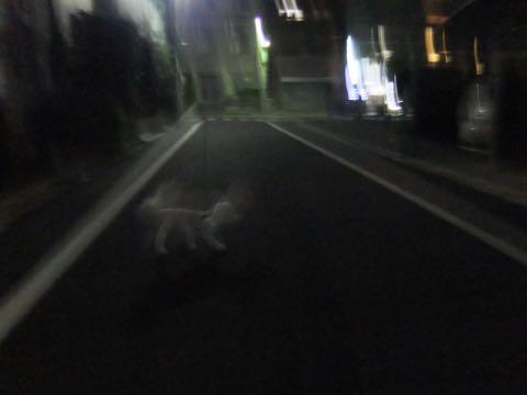 ビションフリーゼトリミングフントヒュッテビションカットスタイルモデル犬画像ビションフリーゼトリミングサロン東京ビションhundehutteビションベアカット_162.jpg