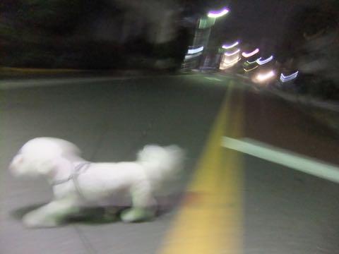 ビションフリーゼトリミングフントヒュッテビションカットスタイルモデル犬画像ビションフリーゼトリミングサロン東京ビションhundehutteビションベアカット_163.jpg
