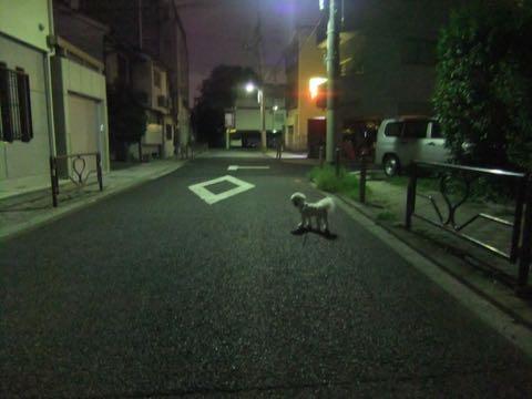 ビションフリーゼトリミングフントヒュッテビションカットスタイルモデル犬画像ビションフリーゼトリミングサロン東京ビションhundehutteビションベアカット_165.jpg