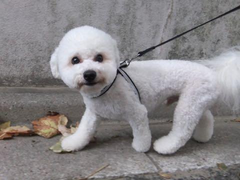 ビションフリーゼトリミングフントヒュッテビションカットスタイルモデル犬画像ビションフリーゼトリミングサロン東京ビションhundehutteビションベアカット_166.jpg