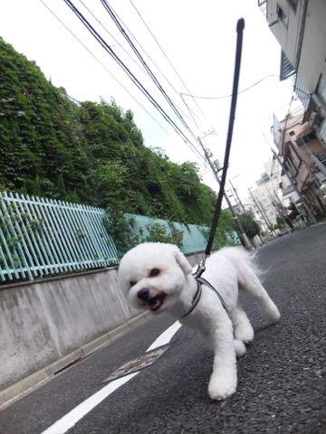 ビションフリーゼトリミングフントヒュッテビションカットスタイルモデル犬画像ビションフリーゼトリミングサロン東京ビションhundehutteビションベアカット_169.jpg