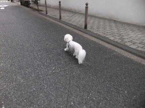 ビションフリーゼトリミングフントヒュッテビションカットスタイルモデル犬画像ビションフリーゼトリミングサロン東京ビションhundehutteビションベアカット_170.jpg