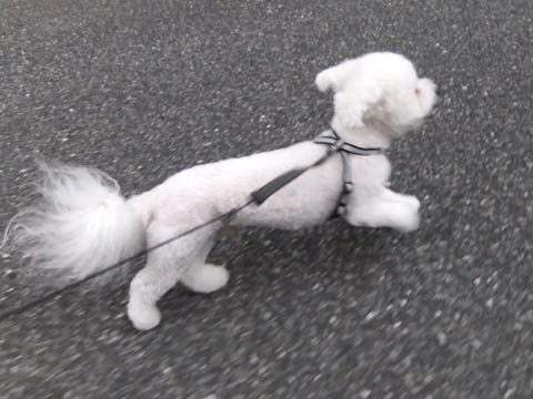 ビションフリーゼトリミングフントヒュッテビションカットスタイルモデル犬画像ビションフリーゼトリミングサロン東京ビションhundehutteビションベアカット_171.jpg