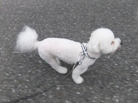 ビションフリーゼトリミングフントヒュッテビションカットスタイルモデル犬画像ビションフリーゼトリミングサロン東京ビションhundehutteビションベアカット_172.jpg