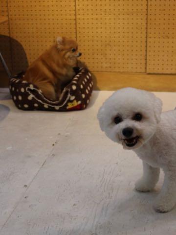 ビションフリーゼトリミングフントヒュッテビションカットスタイルモデル犬画像ビションフリーゼトリミングサロン東京ビションhundehutteビションベアカット_173.jpg