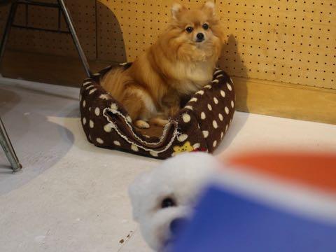 ビションフリーゼトリミングフントヒュッテビションカットスタイルモデル犬画像ビションフリーゼトリミングサロン東京ビションhundehutteビションベアカット_175.jpg