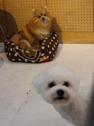 ビションフリーゼトリミングフントヒュッテビションカットスタイルモデル犬画像ビションフリーゼトリミングサロン東京ビションhundehutteビションベアカット_176.jpg