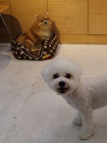 ビションフリーゼトリミングフントヒュッテビションカットスタイルモデル犬画像ビションフリーゼトリミングサロン東京ビションhundehutteビションベアカット_177.jpg