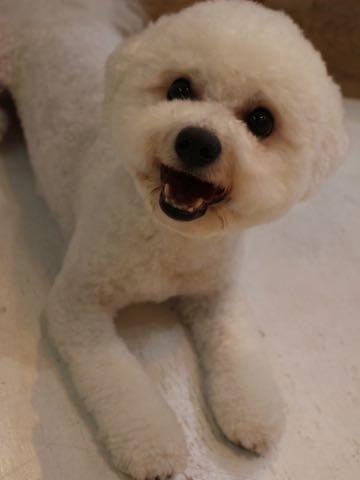 ビションフリーゼトリミングフントヒュッテビションカットスタイルモデル犬画像ビションフリーゼトリミングサロン東京ビションhundehutteビションベアカット_178.jpg