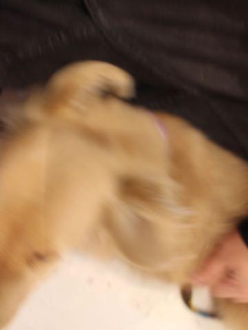 ダックスフントミニチュアトリミング都内フントヒュッテ駒込犬の歯みがき画像文京区歯垢歯石除去歯磨きゼオライトデンタルケア犬温泉東京_155.jpg