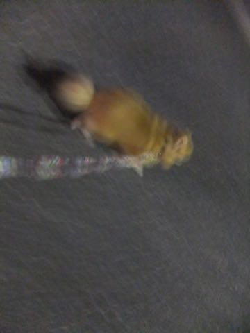 ポメラニアントリミング画像ポメサマーカットフントヒュッテ文京区ペットホテル都内hundehutte東京ドッグホテル駒込犬ホテル料金_204.jpg