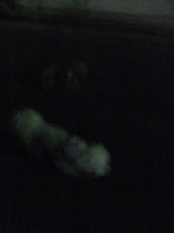 トイ・プードル極小サイズティーカッププードル東京トイプードルトリミング画像フントヒュッテ駒込ビションフリーゼトリミング文京区ペットホテル都内_396.jpg
