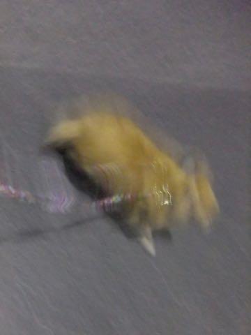 ポメラニアントリミング画像ポメサマーカットフントヒュッテ文京区ペットホテル都内hundehutte東京ドッグホテル駒込犬ホテル料金_208.jpg