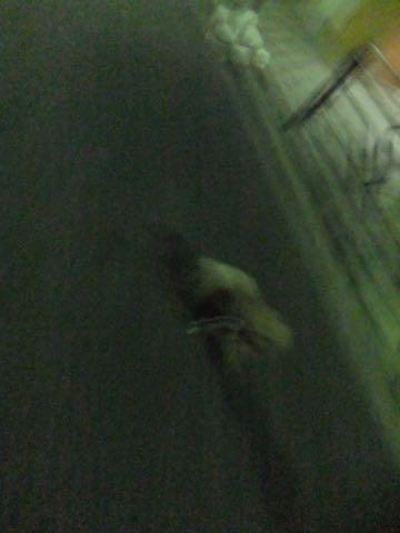 トイ・プードル極小サイズティーカッププードル東京トイプードルトリミング画像フントヒュッテ駒込ビションフリーゼトリミング文京区ペットホテル都内_433.jpg