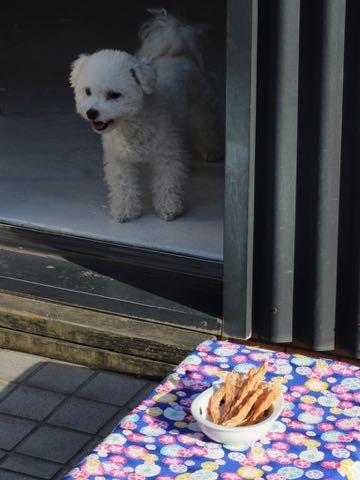 トイ・プードル極小サイズティーカッププードル東京トイプードルトリミング画像フントヒュッテ駒込ビションフリーゼトリミング文京区ペットホテル都内_457.jpg
