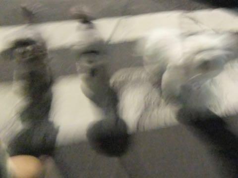 ビションフリーゼトリミング文京区フントヒュッテ駒込ビションフリーゼまるくカットトリミングサロン画像ビションフリーゼ大きく丸い頭画像ビション毛量東京_356.jpg