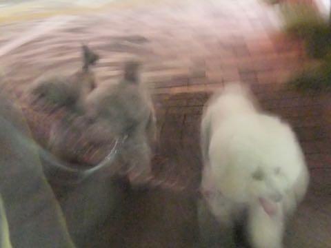 ビションフリーゼトリミング文京区フントヒュッテ駒込ビションフリーゼまるくカットトリミングサロン画像ビションフリーゼ大きく丸い頭画像ビション毛量東京_358.jpg
