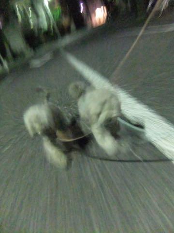 トイプードルトリミング都内フントヒュッテ駒込トイプーカット画像文京区犬歯磨き歯垢歯石除去ゼオライトデンタルケア東京ペットホテル犬ハーブパック効果_341.jpg
