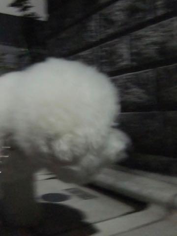 ビションフリーゼトリミング文京区フントヒュッテ駒込ビションフリーゼまるくカットトリミングサロン画像ビションフリーゼ大きく丸い頭画像ビション毛量東京_402.jpg