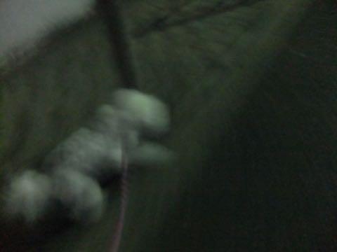 ビションフリーゼトリミング文京区フントヒュッテ駒込ビションフリーゼまるくカットトリミングサロン画像ビションフリーゼ大きく丸い頭画像ビション毛量東京_410.jpg