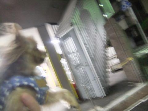 ビションフリーゼトリミング文京区フントヒュッテ駒込ビションフリーゼまるくカットトリミングサロン画像ビションフリーゼ大きく丸い頭画像ビション毛量東京_421.jpg