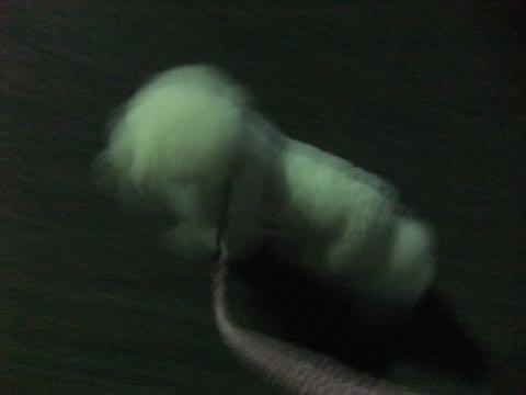 ビションフリーゼトリミング文京区フントヒュッテ駒込ビションフリーゼまるくカットトリミングサロン画像ビションフリーゼ大きく丸い頭画像ビション毛量東京_413.jpg