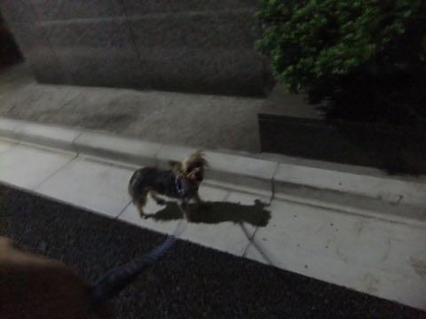 ヨークシャー・テリアトリミング画像ヨーキートリミング文京区フントヒュッテ駒込トリミングサロン東京ヨーキーカットスタイル画像_101.jpg