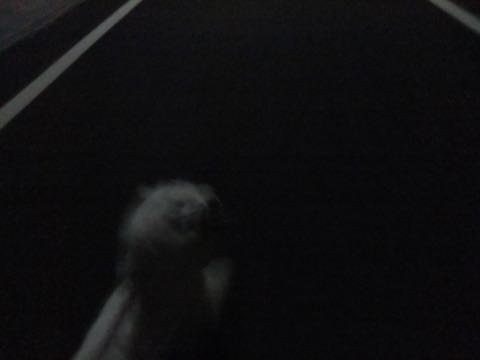 ビションフリーゼトリミング文京区フントヒュッテ駒込ビションフリーゼまるくカットトリミングサロン画像ビションフリーゼ大きく丸い頭画像ビション毛量東京_429.jpg