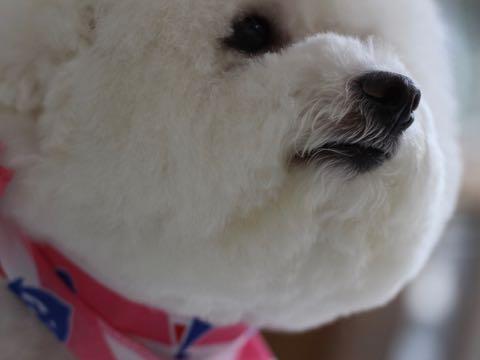ビションフリーゼトリミング文京区フントヒュッテ駒込hundehutteビション子犬トリミング都内こいぬビションチャンピオン犬血統毛量東京かわいいビション画像_100.jpg