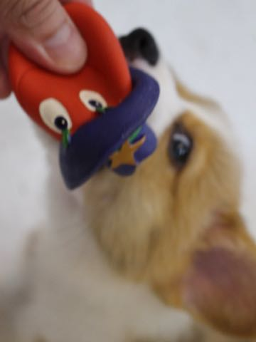 ウェルシュ・コーギー・ペンブロークこいぬ情報フントヒュッテウェルシュコーギーペンブローク子犬画像コーギーしっぽ付き尻尾付きしっぽつき断尾していないコーギー出産情報性格子犬の社会化コーギー家族募集中 Welsh Corgi Pembroke _ 251.jpg